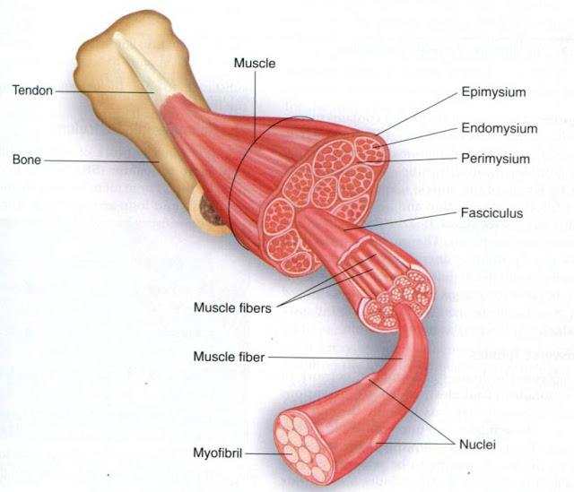 integumentary &muscular system (others are in subpages) - general, Muscles